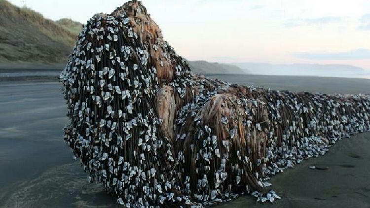 كائنات غريبة تغطي شاطئ نيوزيلندا وتحير كثيرين
