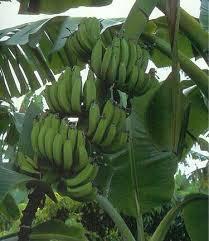 جهود حكومية للحد من التوسع  في زراعة شجرة الموز في اليمن