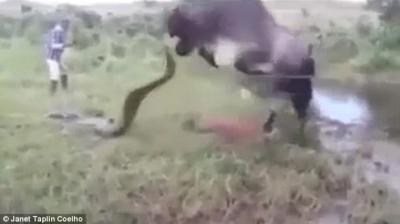 """شاهد بالفيديو : هكذا انتقمت بقرة من حية """"أناكوندا"""" قتلت صغيرها"""