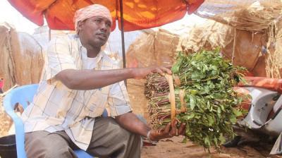 """""""القات"""" يزدهر في الصومال بعد حظره في بريطانيا ( صور)"""