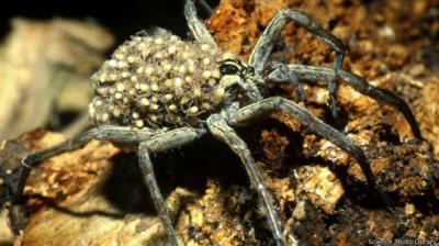 كيف تصدر العناكب صوتا لمغازلة الإناث وحثها على التزاوج؟